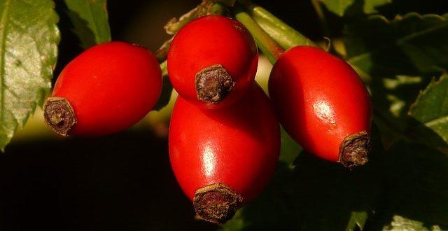 Nypon innehåller inte fytoöstrogen